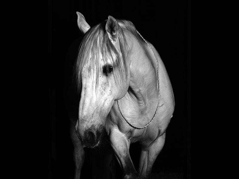 Lugano est un cheval des spectacles equestre de la cie equinote.