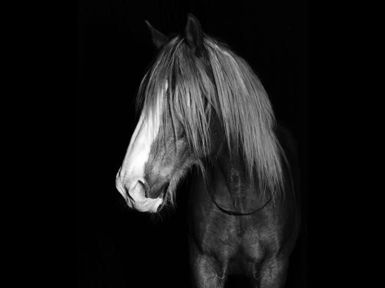 Quimperial est un cheval de cirque de la compagnie equinote.